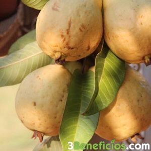 Frutos de Guayaba