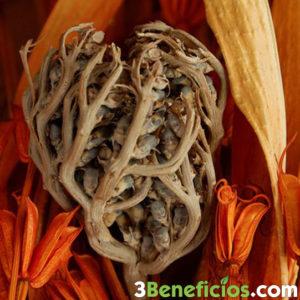 Semillas de planta de rosa de jericó